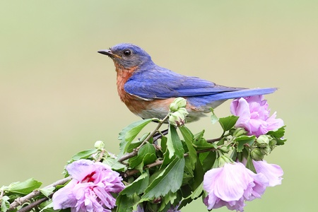 Male Eastern Bluebird (Sialia sialis) on a hibiscus bush photo