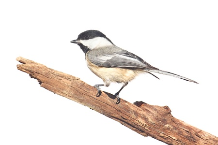 chickadee: Black-capped Chickadee (poecile atricapilla) - Isolated on a white background