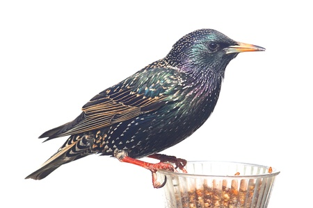plumage: European Starling (Sturnus vulgaris) in winter plumage on a feeder isolated on a white background Stock Photo
