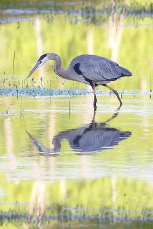 Great Blue Heron (Ardea Herodias) reflection in Yellowstone National Park photo