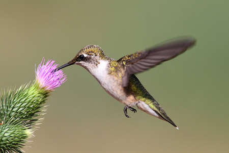 청소년 루비 -throated Hummingbird (archilochus colubris) 엉 겅 퀴 꽃과 녹색 배경으로 비행 스톡 콘텐츠