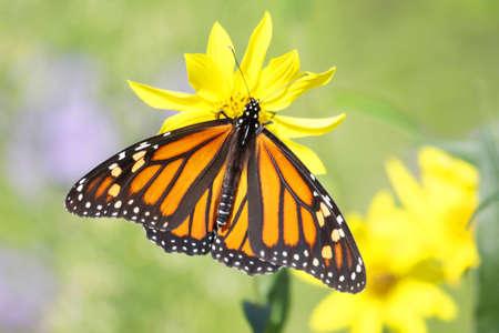 danaus: Monarch Butterfly (danaus plexippus) on Woodland Sunflowers (Helianthus divaricatus) Stock Photo