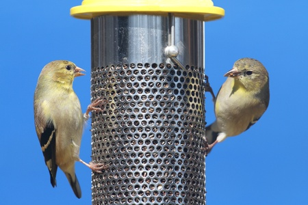 goldfinch: American Goldfinch  Carduelis tristis  perched on a feeder with a blue background Stock Photo