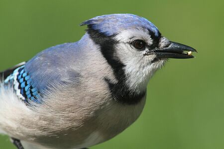 blue jay bird: Close-up of a Blue Jay  corvid cyanocitta  eating peanuts with a green background