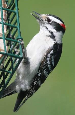 downy woodpecker: Downy Woodpecker  Picoides pubescens  on a suet feeder with a green background