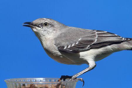 ruiseñor: Northern Mockingbird (Mimus polyglottos) en un alimentador de comer gusanos de la harina en una taza