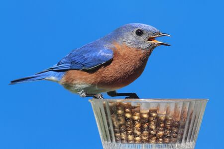 mealworm: Male Eastern Bluebird (Sialia sialis) on a mealworm feeder and a blue background Stock Photo