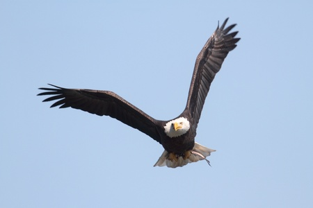 eagle feather: Adult Bald Eagle  haliaeetus leucocephalus  in flight against a blue sky