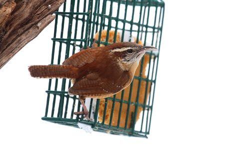 bird feeder: Carolina Wren  Thryothorus ludovicianus  on a suet feeder Stock Photo