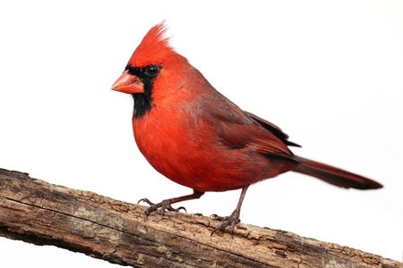 cardinal bird: Northern Cardinal  Cardinalis  on a stump - Isolated on a white background Stock Photo