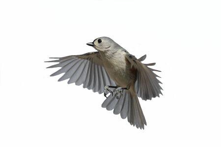 titmouse: bird