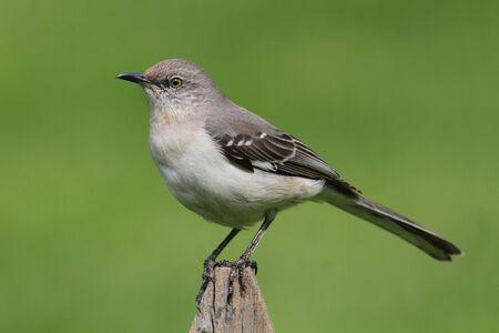 mockingbird: Northern Mockingbird  Mimus polyglottos  on a fence with a green background