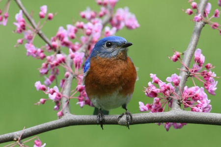 Male Eastern Bluebird  Sialia sialis  with pink flowers photo