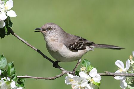 Northern Mockingbird  Mimus polyglottos  in an apple tree with flowers Standard-Bild