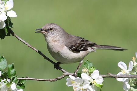 Northern Mockingbird  Mimus polyglottos  in an apple tree with flowers Stock Photo