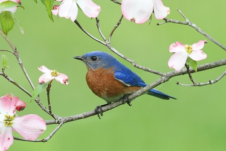 Male Eastern Bluebird  Sialia sialis  with pink Dogwood flowers photo