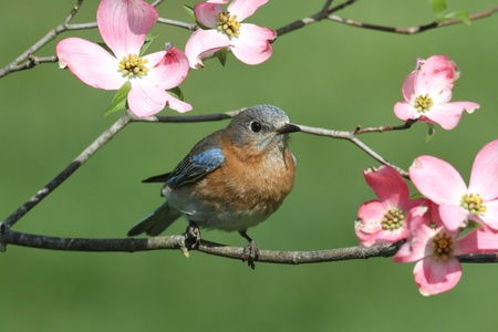 Female Eastern Bluebird (Sialia sialis) with pink Dogwood flowers