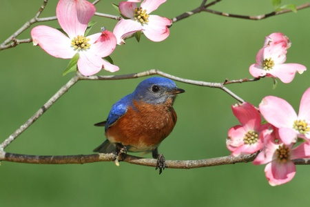 Male Eastern Bluebird (Sialia sialis) with pink Dogwood flowers photo