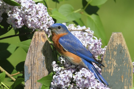 Female Eastern Bluebird (Sialia sialis) on a fence with Lilac flowers photo