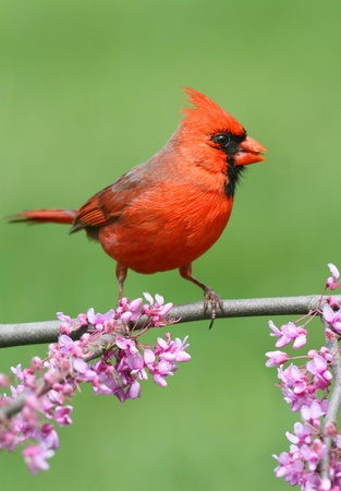 Man Noordelijke Kardinaal (cardinalis) op een tak met bloemen in de lente