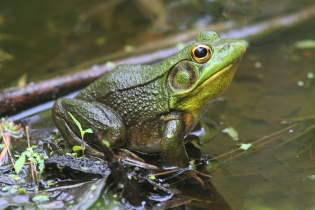 Green Frog  Rana clamitans  in a Pond with duckweed Stock Photo - 13705354