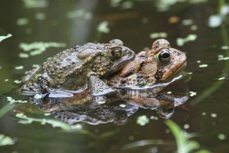 American Toads  Bufo americanus  Mating Stok Fotoğraf
