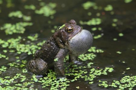 croak: Male American Toad  Bufo americanus  performing a mating call