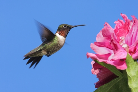 Male Ruby-throated Hummingbird (archilochus colubris) in flight with a flower and a blue sky background