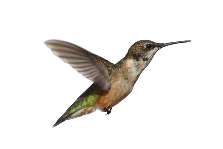 ruby throated: Male Ruby-throated Hummingbird (archilochus colubris) in flight isolated on a white background