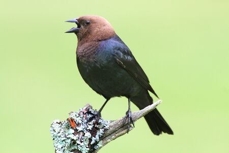 Male Brown-headed Cowbird  Molothrus ater  on a perch with a green background