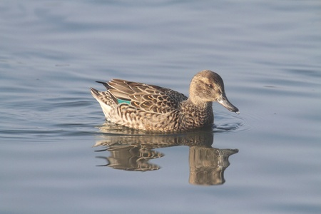 anas: Female Green-winged Teal  anas crecca  swimming in blue water