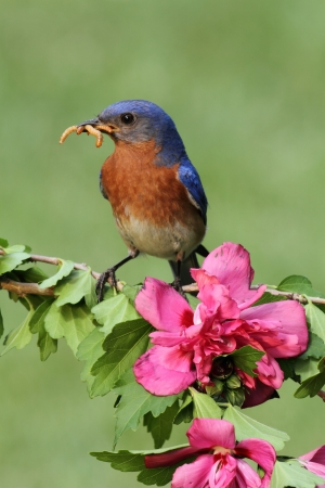 Male Eastern Bluebird  Sialia sialis  with flowers carrying worms