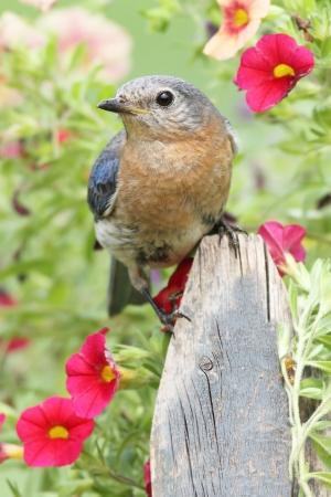Female Eastern Bluebird  Sialia sialis  on a fence with flowers photo