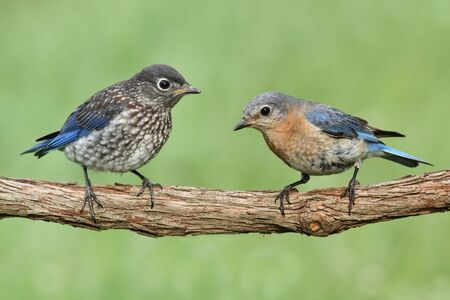 Female Eastern Bluebird  Sialia sialis  with her baby Stock Photo - 13944744