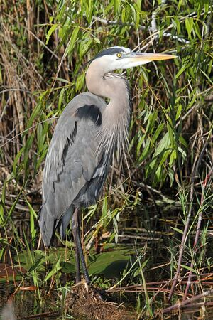 great blue heron: Great Blue Heron (Ardea Herodias) in the Florida Everglades