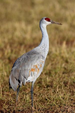 sandhill crane: Sandhill Crane (Grus canadensis) at sunrise in the Bosque del Apache in New Mexico