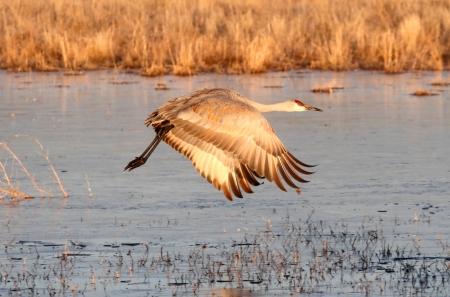 sandhill crane: Sandhill Crane (Grus canadensis) in flight at Bosque del Apache in New Mexico Stock Photo