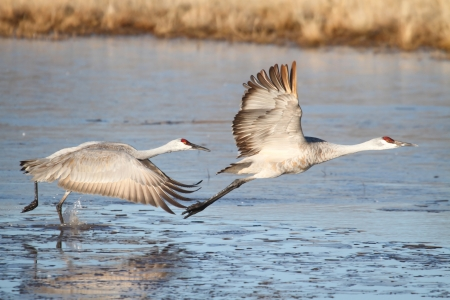 Sandhill Crane (Grus canadensis) taking flight at Bosque del Apache in New Mexico Standard-Bild