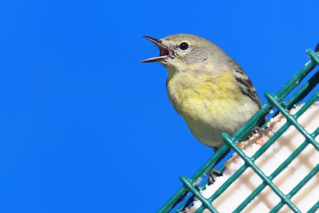 feeder: Female Pine Warbler (Dendroica Setophaga pinus) on a feeder in early spring