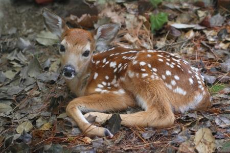 조금 오래된 시간 이상 사슴 (Odocoileus virginianus) 새끼를 흰 꼬리