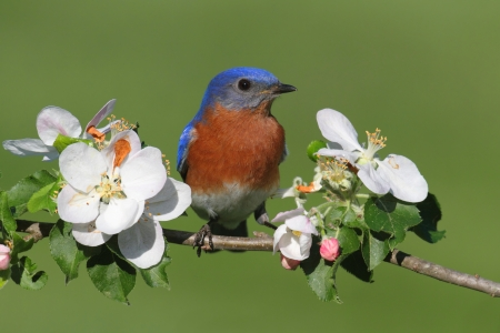 Male Eastern Bluebird (Sialia sialis) in an apple tree with flowers photo