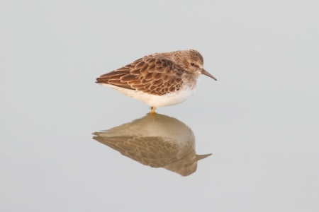 Least Sandpiper (Calidris minutilla) by the Pacific Ocean Stok Fotoğraf