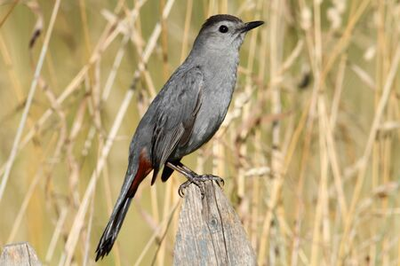 catbird: Gray Catbird (Dumetella carolinensis) on a fence in a field