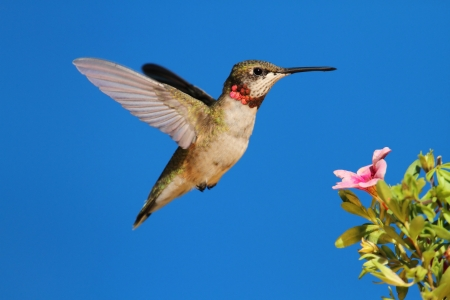 ruby throated: Ruby-throated Hummingbird  archilochus colubris  in flight at a flower with a blue background Stock Photo