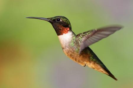 colibries: Mujer colibrí garganta rubí Archilochus Colubris en vuelo con un fondo verde