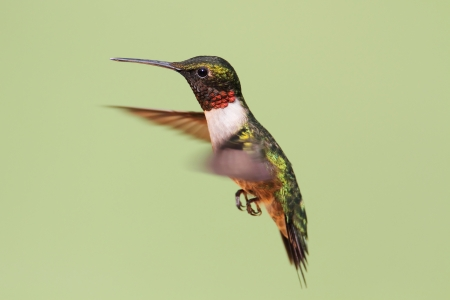 Ruby-throated Hummingbird (archilochus colubris) in flight with a green background photo