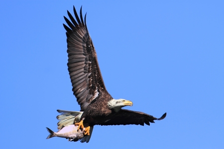 Adult Bald Eagle (haliaeetus leucocephalus) carrying a fish in flight against a blue sky Stockfoto