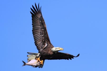 Volwassen Bald Eagle (Haliaeetus leucocephalus) het dragen van een vis tijdens de vlucht tegen een blauwe hemel Stockfoto - 14036585