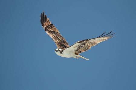 青空の背景と飛行中のミサゴ (パンディオン haliaetus)