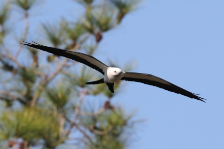 animal kite: Swallow-tailed Kite (Elanoides forficatus) in flight with nesting material in the Florida Everglades Stock Photo